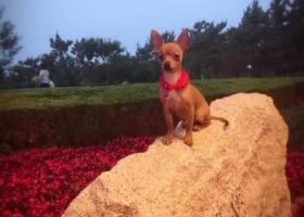 寻狗启示,小鹿犬丢了,求好心人捡到联系,它是一只非常可爱的宠物狗狗,希望它早日回家,不要变成流浪狗。