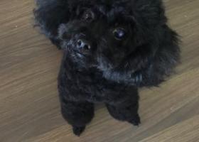 寻狗启示,重金寻找黑色母泰迪~连云港海州区凌洲西路万润一品苑3期内丢失,它是一只非常可爱的宠物狗狗,希望它早日回家,不要变成流浪狗。