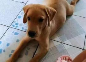 寻找一只棕色拉布拉多爱犬