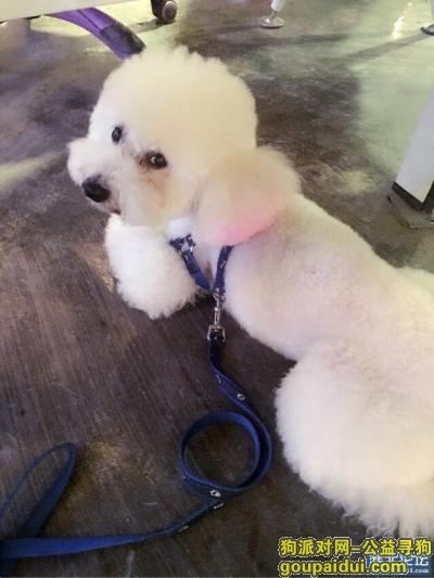 淮北找狗,淮北市 相山区国购广场寻找白色贵宾,它是一只非常可爱的宠物狗狗,希望它早日回家,不要变成流浪狗。