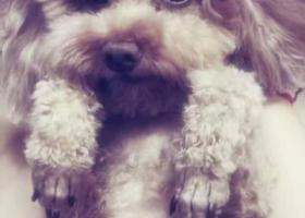 求助:北京大兴急寻走失泰迪犬