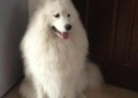 寻狗启示,心爱的萨摩丢失,求助求助,心好痛,它是一只非常可爱的宠物狗狗,希望它早日回家,不要变成流浪狗。