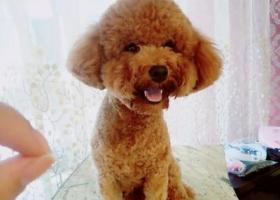 棕色中型泰迪公狗 万达金街被抱走