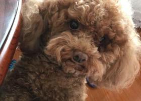 在泡崖金兴街33号锅炉房附近走失一条五岁泰迪犬