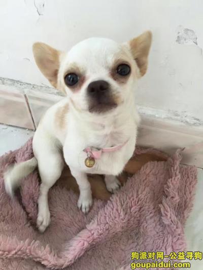 寻狗启示,寻狗启示吉娃娃女在外滩丢失,它是一只非常可爱的宠物狗狗,希望它早日回家,不要变成流浪狗。