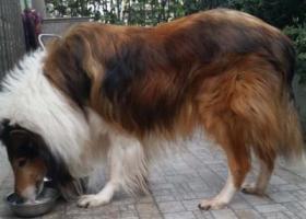 寻狗启示,成华区 府青路一段附近寻苏牧,它是一只非常可爱的宠物狗狗,希望它早日回家,不要变成流浪狗。