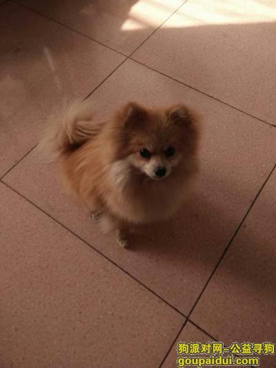 吕梁寻狗网,我家的狗是博美犬,名字叫豆豆。,它是一只非常可爱的宠物狗狗,希望它早日回家,不要变成流浪狗。