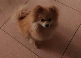 寻狗启示,我家的狗是博美犬,名字叫豆豆。,它是一只非常可爱的宠物狗狗,希望它早日回家,不要变成流浪狗。