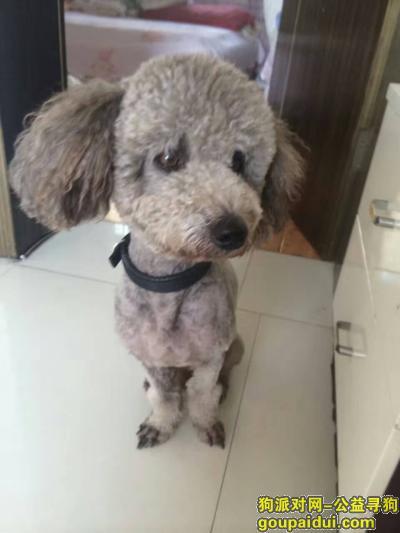 张家界寻狗网,桑植县走丢一条灰色5岁雄性泰迪!,它是一只非常可爱的宠物狗狗,希望它早日回家,不要变成流浪狗。