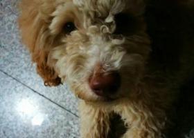 寻狗启示,八月二十九日于乌鲁木齐幸福电影院捡到,它是一只非常可爱的宠物狗狗,希望它早日回家,不要变成流浪狗。
