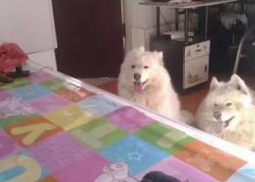 两只萨摩狗狗丢了一公一母,叫多多和小七