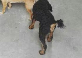 8月28号在京沪高速广陵服务丢失一只贵宾犬。