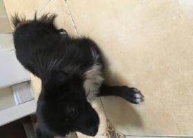 寻狗启示,广武门附近捡到黑色小狗一只,胸部是白色的,请联系13993113887,它是一只非常可爱的宠物狗狗,希望它早日回家,不要变成流浪狗。