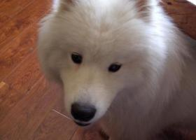 寻狗启示,济南市市中区建设路二七南路路口附近捡到一只萨摩耶,它是一只非常可爱的宠物狗狗,希望它早日回家,不要变成流浪狗。