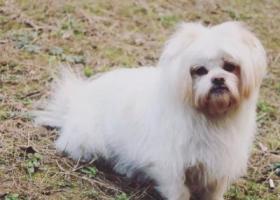 急急急!白色北京犬在延安路香榭春天附近走失!找到重赏!很急很急 拜托大家了