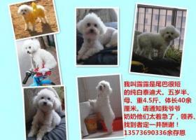寻狗启示,寻白色无尾巴小泰迪犬,它是一只非常可爱的宠物狗狗,希望它早日回家,不要变成流浪狗。