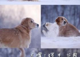 北京市朝阳区百子湾寻找金毛