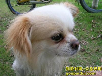 阿坝寻狗启示,遗落在九寨黄龙路上的小忠狗,它是一只非常可爱的宠物狗狗,希望它早日回家,不要变成流浪狗。