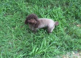 北京路摩玛大厦C座附近找泰迪狗