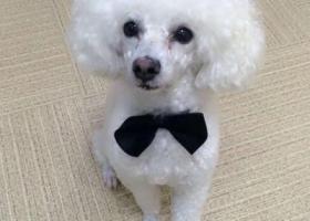 寻狗启示,义乌贵宾--季宅一区142栋左右走丢,尾巴短,鼻头是不是全黑有点红色,它是一只非常可爱的宠物狗狗,希望它早日回家,不要变成流浪狗。