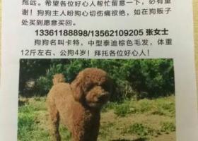 寻狗启示,7月25日,草庙子丢失中体泰迪,它是一只非常可爱的宠物狗狗,希望它早日回家,不要变成流浪狗。