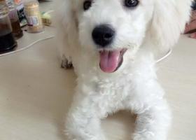 寻狗启示,寻求好心人帮忙必有重谢,它是一只非常可爱的宠物狗狗,希望它早日回家,不要变成流浪狗。
