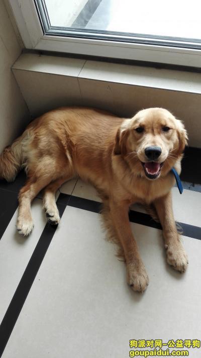 【成都找狗】,一岁 金毛 母狗 北门大桥走失,它是一只非常可爱的宠物狗狗,希望它早日回家,不要变成流浪狗。