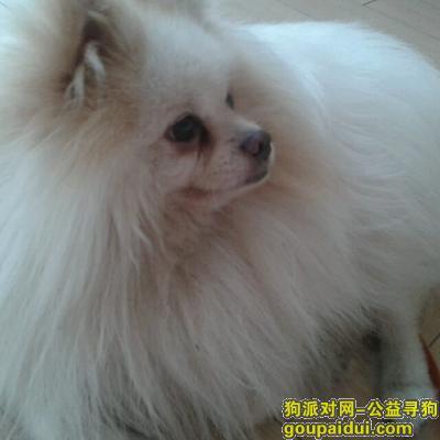 【连云港找狗】,寻找10岁爱犬(白色博美,两只小耳朵毛发为黄色),它是一只非常可爱的宠物狗狗,希望它早日回家,不要变成流浪狗。