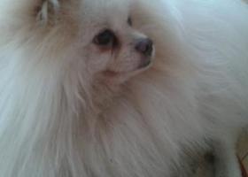 寻狗启示,寻找10岁爱犬(白色博美,两只小耳朵毛发为黄色),它是一只非常可爱的宠物狗狗,希望它早日回家,不要变成流浪狗。