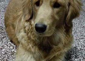 寻狗启示,9月28日下午3点20分左右,一只一岁左右金毛犬丢失,忘好心人尽快提供线索,必有重谢!!!,它是一只非常可爱的宠物狗狗,希望它早日回家,不要变成流浪狗。