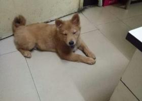 寻找六个月的金毛爱犬