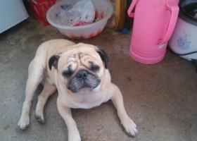 10月3日捡到巴哥犬一只