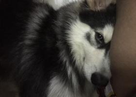 寻狗启示,蚌埠找狗10.3新二中附近走丢,它是一只非常可爱的宠物狗狗,希望它早日回家,不要变成流浪狗。