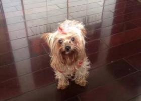 武汉青山104街道北门走失一只约克夏母狗,如若捡到,必有重谢!