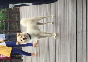 寻狗启示,酬金1000元寻小黄狗,它是一只非常可爱的宠物狗狗,希望它早日回家,不要变成流浪狗。
