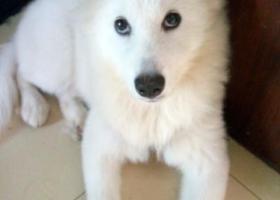 寻狗启示,山东莱州—白莎回家吧,它是一只非常可爱的宠物狗狗,希望它早日回家,不要变成流浪狗。