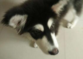 寻狗启示,找寻我的爱狗三个多月大的母阿拉斯加犬,它是一只非常可爱的宠物狗狗,希望它早日回家,不要变成流浪狗。