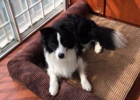 寻狗启示,寻狗启示,信谊宾馆、广场小区附近丢失一岁边牧,它是一只非常可爱的宠物狗狗,希望它早日回家,不要变成流浪狗。