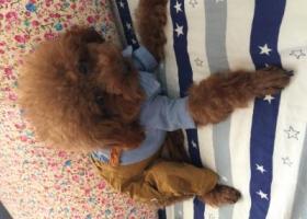 寻狗启示,一只棕色的泰迪在街心公园走丢,它是一只非常可爱的宠物狗狗,希望它早日回家,不要变成流浪狗。