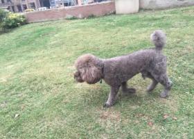 寻狗启示,徐州 古彭女人街酬谢5万元寻找灰色泰迪,它是一只非常可爱的宠物狗狗,希望它早日回家,不要变成流浪狗。