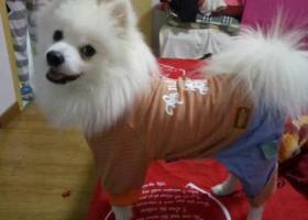 寻狗启示,寻白色成年博美一只!望好心人帮忙,它是一只非常可爱的宠物狗狗,希望它早日回家,不要变成流浪狗。