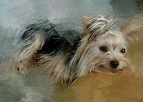 寻狗启示,家养约克夏前天跑丢,希望大家能提供线索让他早日回家,它是一只非常可爱的宠物狗狗,希望它早日回家,不要变成流浪狗。