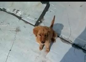 三个月大的金毛狗狗在亲贤北街太航附近丢失