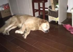 寻狗启示,10月18日历下区百花公园附近捡到金毛犬一只,它是一只非常可爱的宠物狗狗,希望它早日回家,不要变成流浪狗。