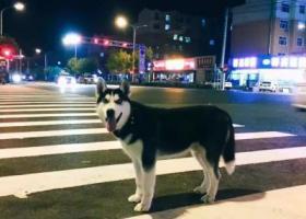 寻狗启示,这是图图。哈士奇、性别男,它是一只非常可爱的宠物狗狗,希望它早日回家,不要变成流浪狗。