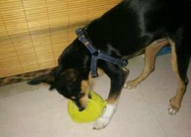 寻狗启示,寻找爱犬,5个月左右大,它是一只非常可爱的宠物狗狗,希望它早日回家,不要变成流浪狗。