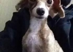 寻狗启示,丢失香槟色母泰迪 毛全剃,它是一只非常可爱的宠物狗狗,希望它早日回家,不要变成流浪狗。
