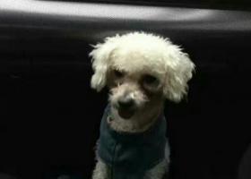 寻狗启示,商丘地区喜来登附近捡到穿着衣服的白色泰迪一只,它是一只非常可爱的宠物狗狗,希望它早日回家,不要变成流浪狗。