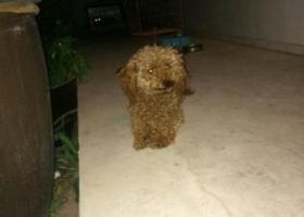 寻狗启示,寻找2岁棕色公泰迪嘟嘟,请体谅一个爱狗人的心情,它是一只非常可爱的宠物狗狗,希望它早日回家,不要变成流浪狗。