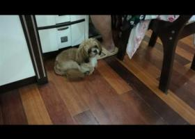 寻狗启示,黄色的狗狗,2016年10月16日在淮安市淮安区金汤浴室对面理发店丢掉的,它是一只非常可爱的宠物狗狗,希望它早日回家,不要变成流浪狗。